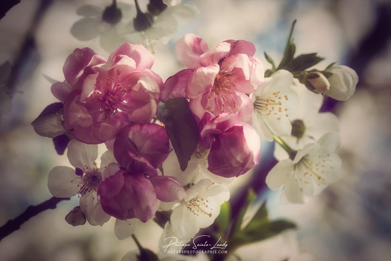 Les fleurs roses du pommier japonais