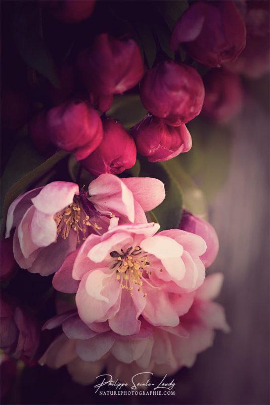 La douceur des fleurs d'un pommier du Japon