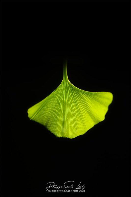 Forme particulière d'une feuille de ginkgo