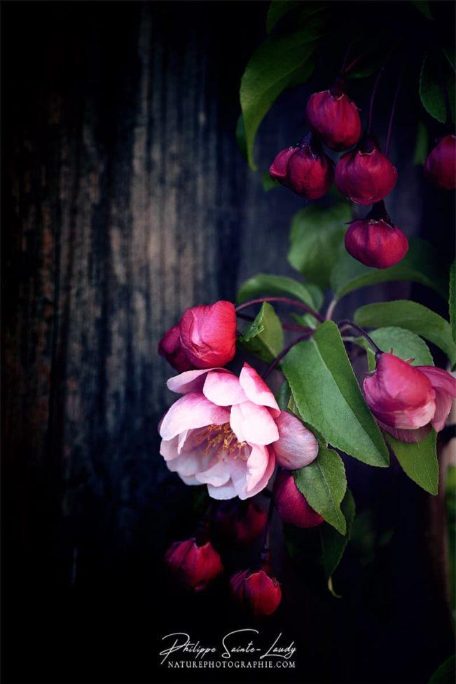 Boutons de fleurs sur un pommier japonais