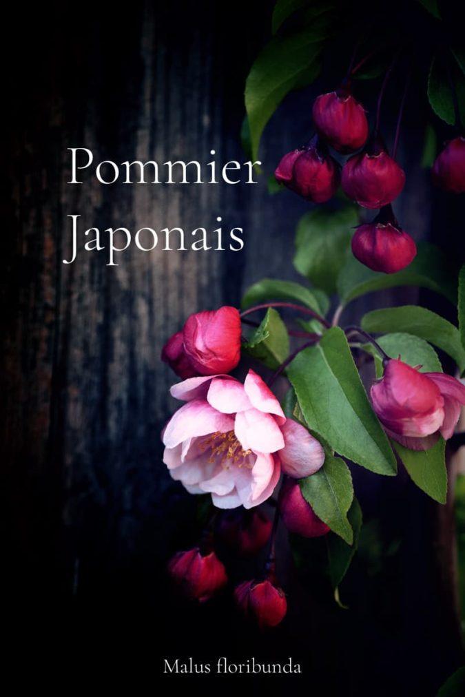 Le pommier japonais ou Pommier du Japon en fleurs