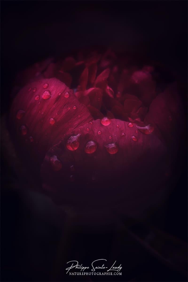 Pivoine rouge après la pluie