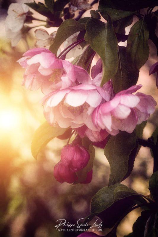 Le soleil éclaire un pommier du Japon