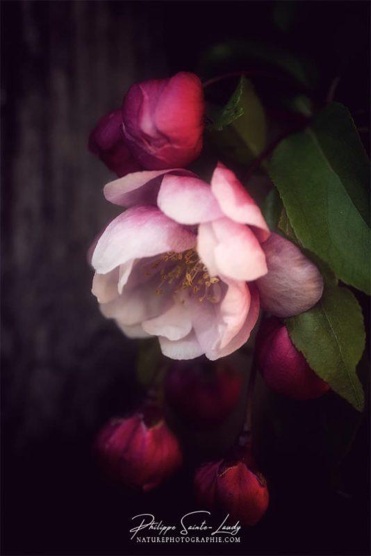Effet Orton sur une fleur de pommier japonais