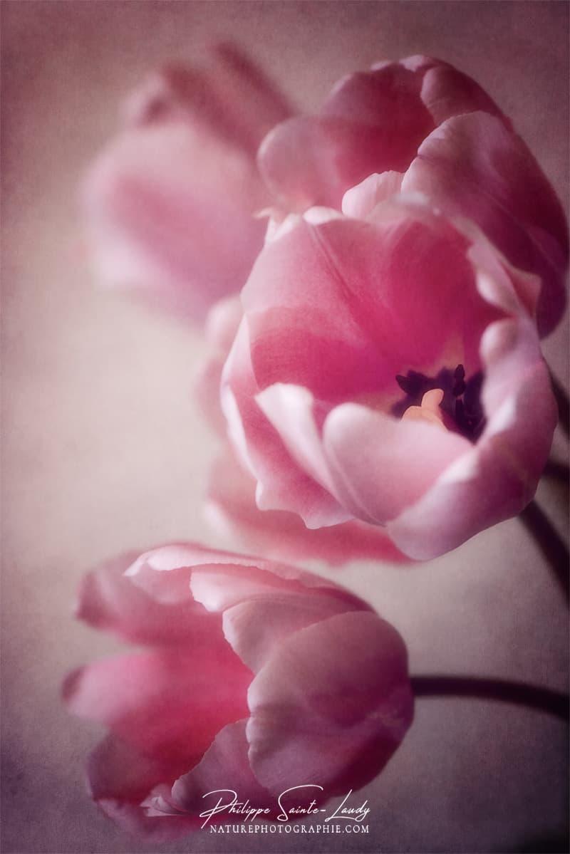 Gros plan sur des tulipes