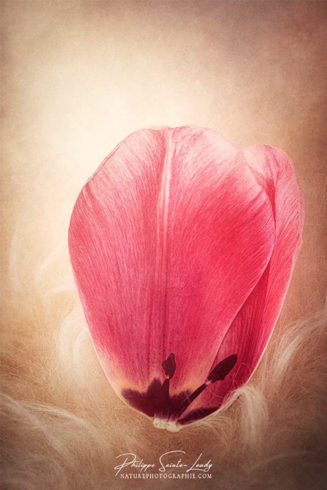 Pétale de tulipe rose en gros plan