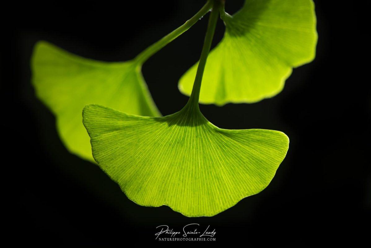 Le vert tendre des feuilles de ginkgo