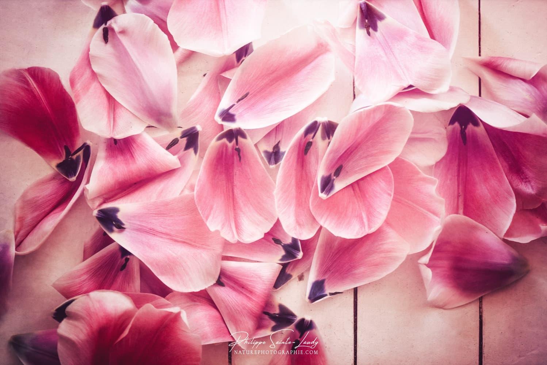 Pétales de tulipes tombées sur le sol