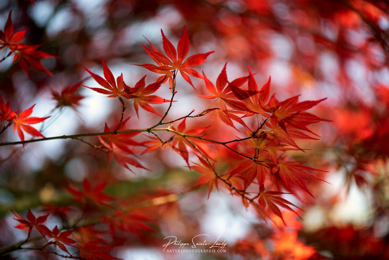 Branche de feuilles rouges d'érable Japonais