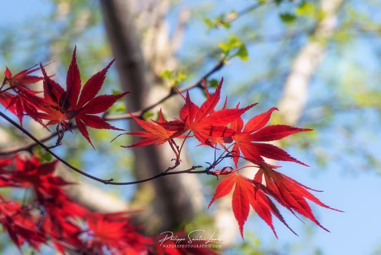 Élégante branche d'érable du Japon