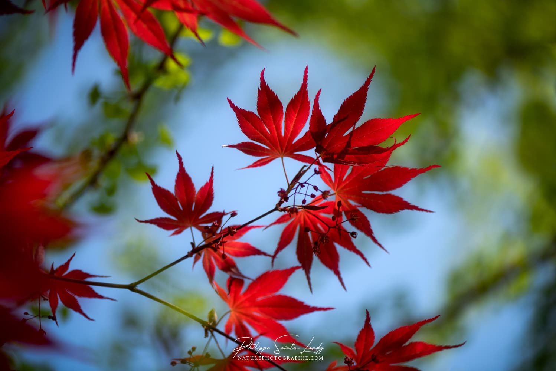 Les couleurs du printemps dans un érable