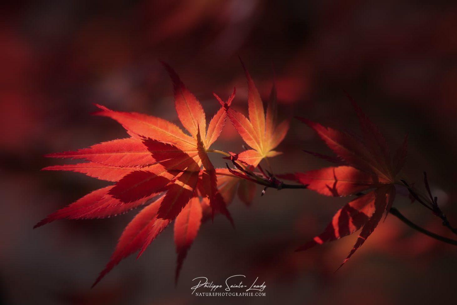 Lumière discrète sur une feuille d'érable du Japon