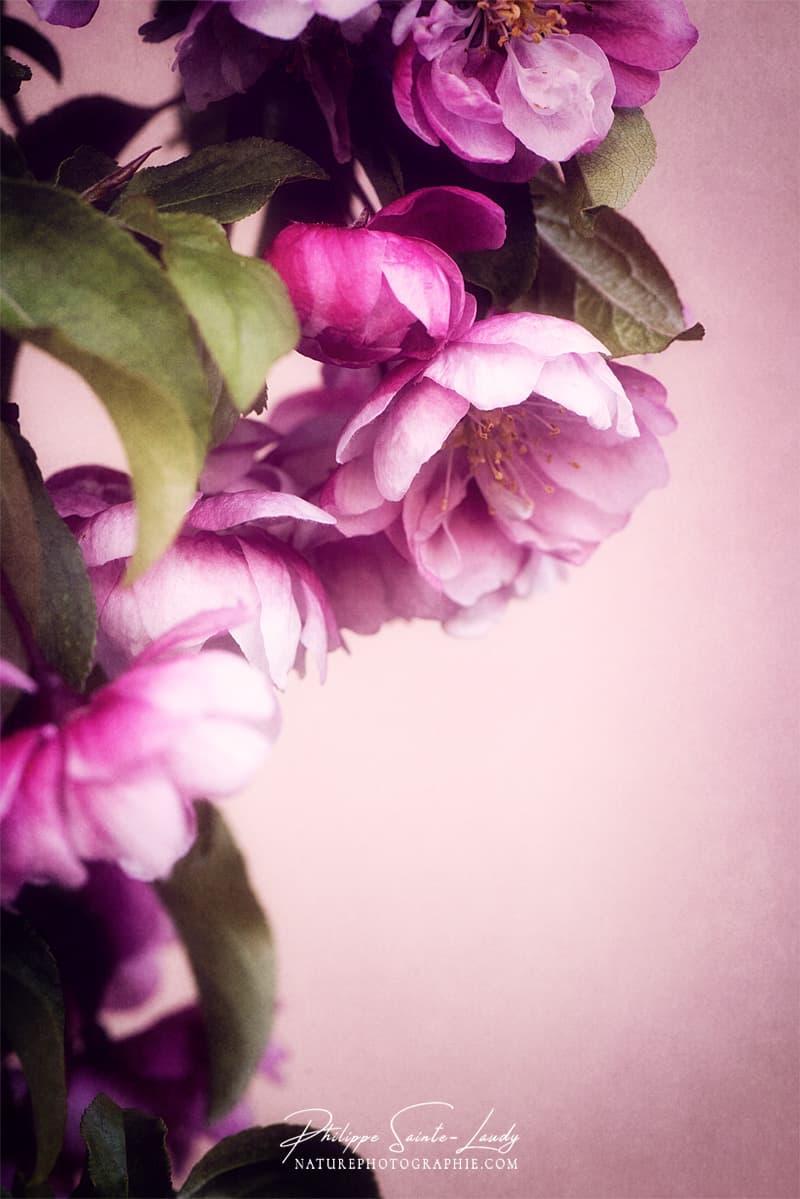 Texture et fleurs de pommier du Japon