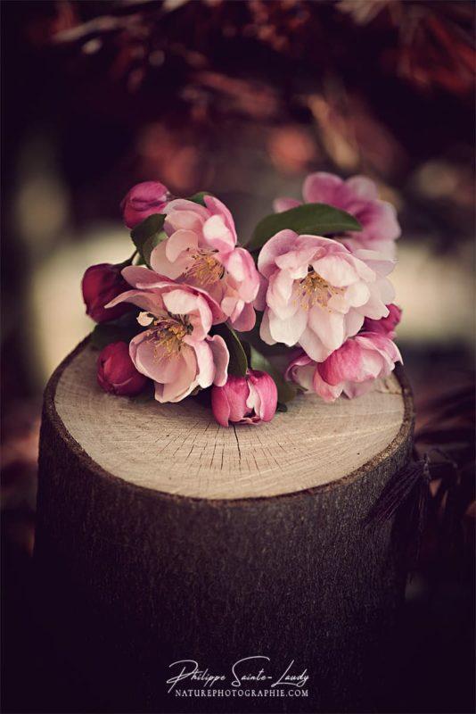 Fleurs de pommier japonais sur un tronc