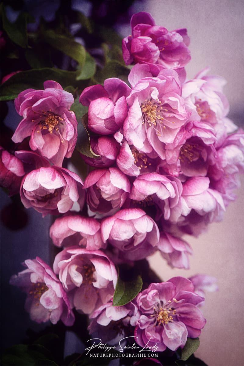 Les fleurs roses d'un pommier du Japon