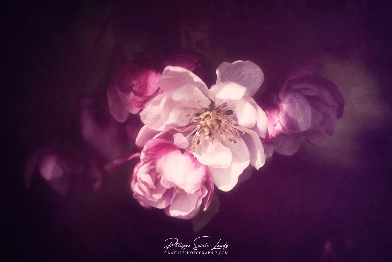 Gros plan sur une fleur de pommier du japon