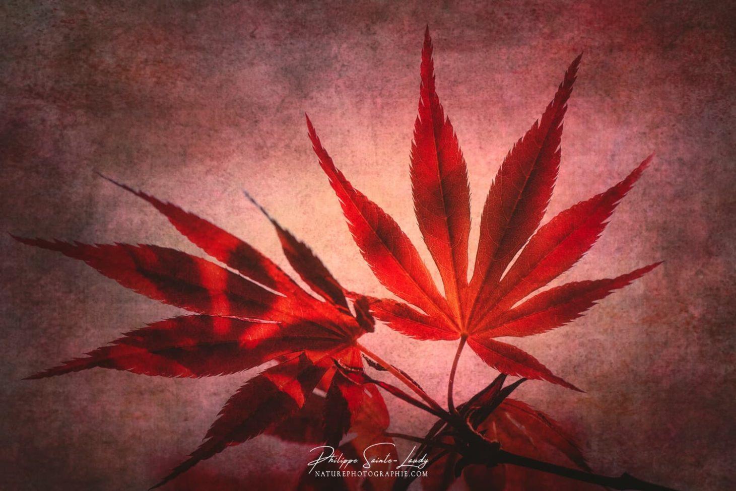 Texture photo sur des feuille d'érable du Japon