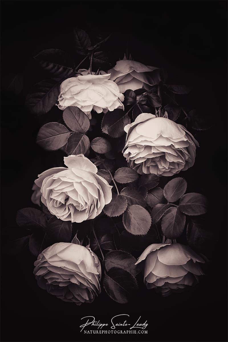 Photo de roses dans une lumière douce