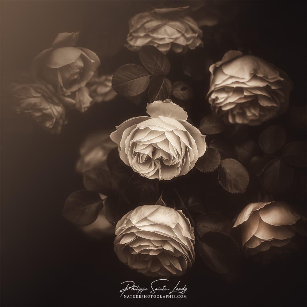 Vieilles roses