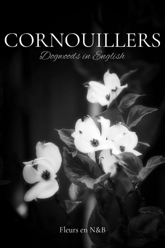 Photos de cornouiller blanc en noir et blanc