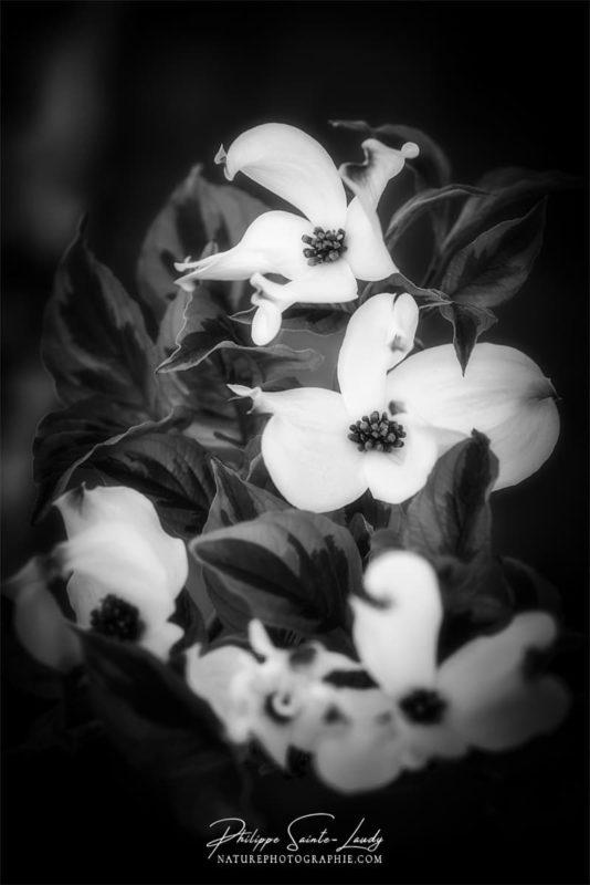 Photo de fleurs en noir et blanc - dogwoods ou cornouiller blanc