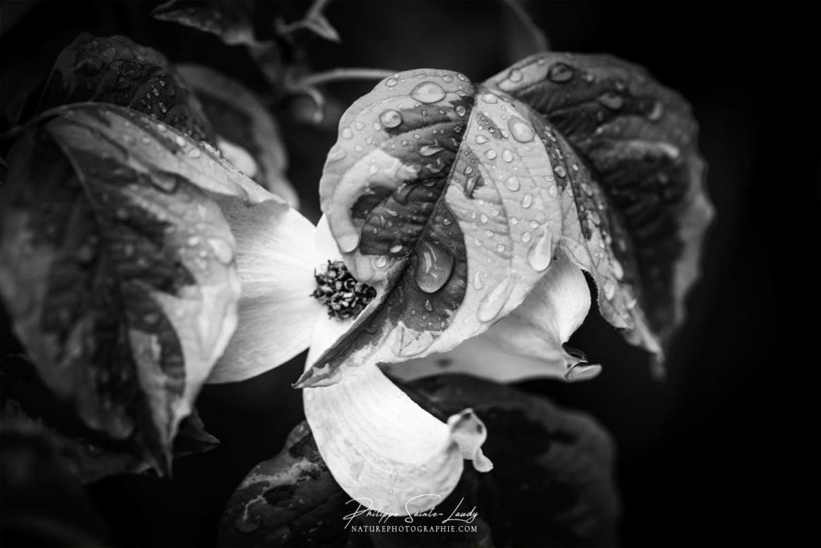 Fleur de cornouiller après la pluie