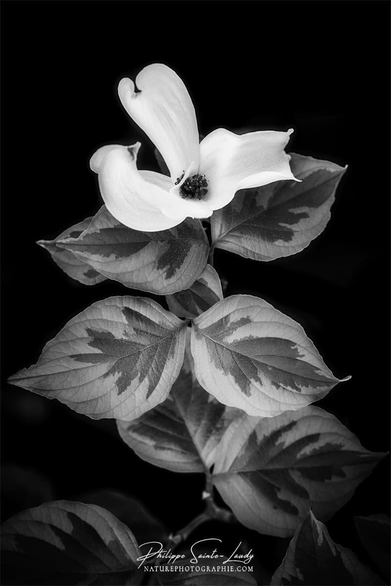Portrait de cornouiller blanc
