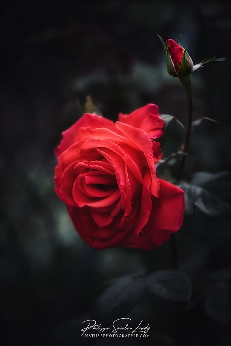 Une rose en gros plan
