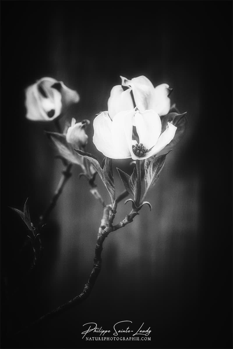 Fleurs en noir et blanc - Dogwoods