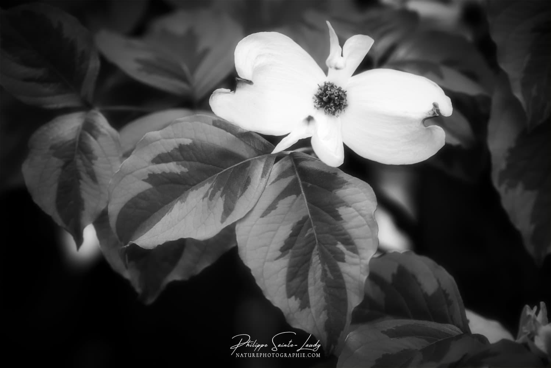 Cornouiller en fleurs