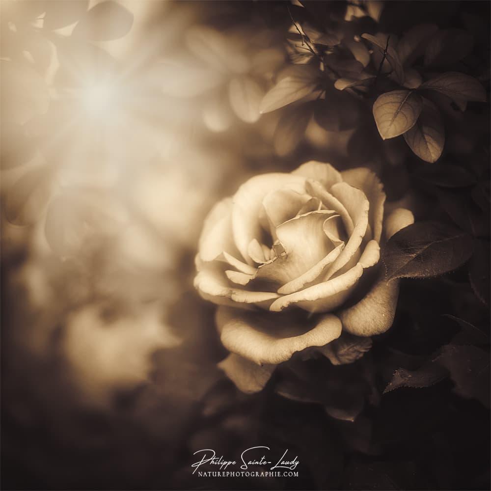 Photo nostalgique d'une rose dans la lumière