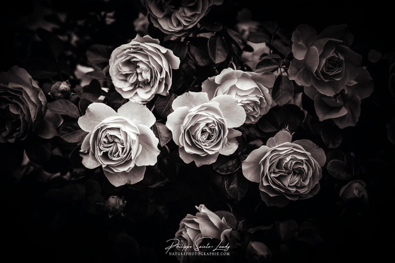 Roses en noir et blanc