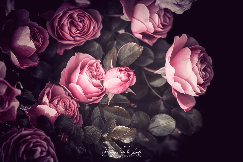 La douceur des roses