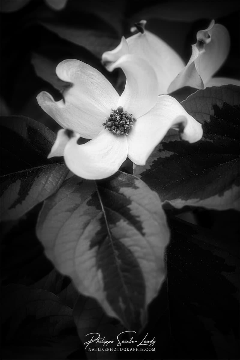 Portrait de fleur de cornouiller blanc