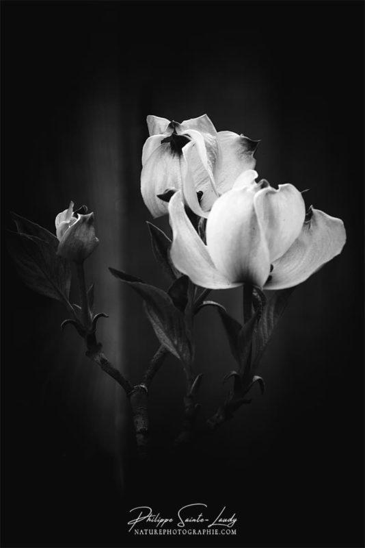 Fleurs blanches de cornouiller