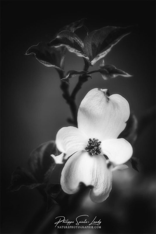 Gros plan sur une fleur de cornouiller
