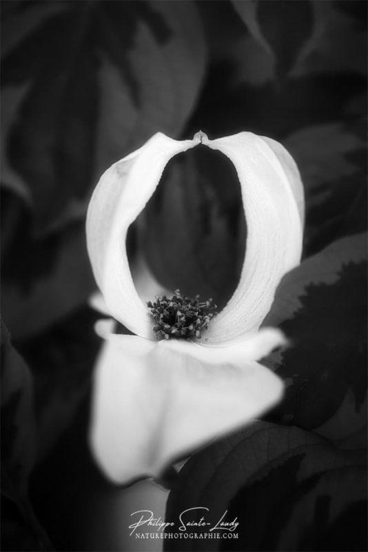 Photo de fleurs de cornouiller blanc