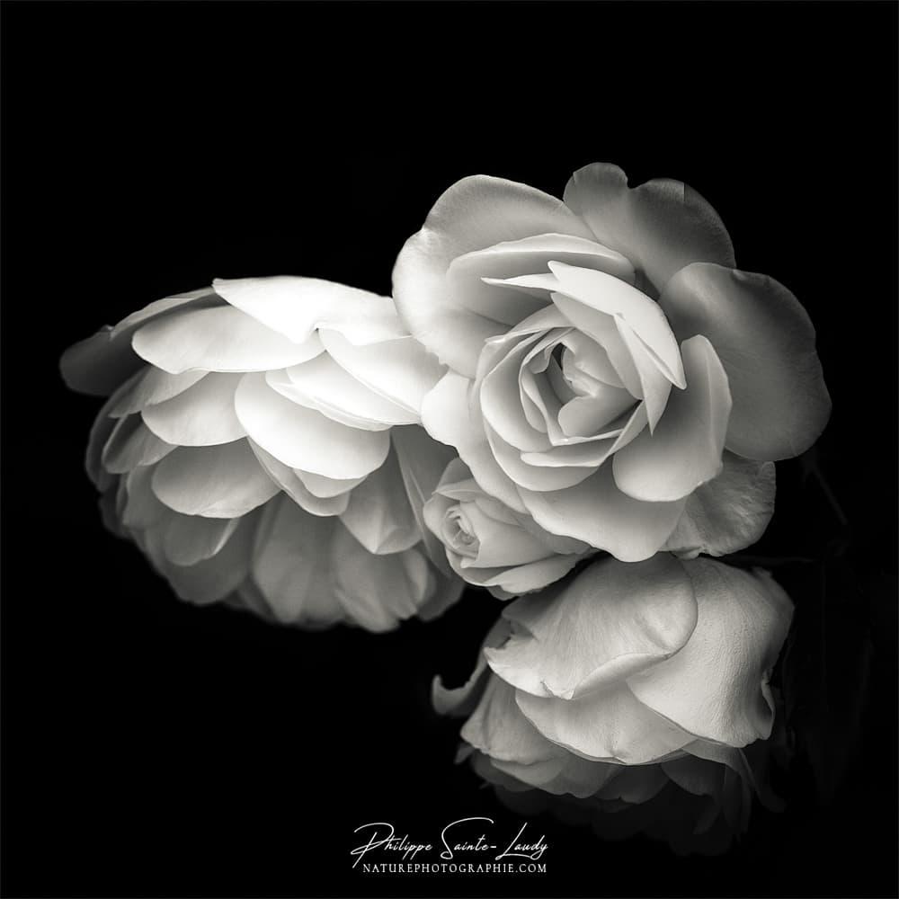 Des roses en N&B