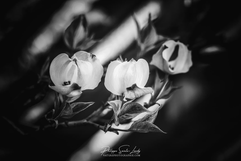 Premières fleurs de cornouiller au printemps