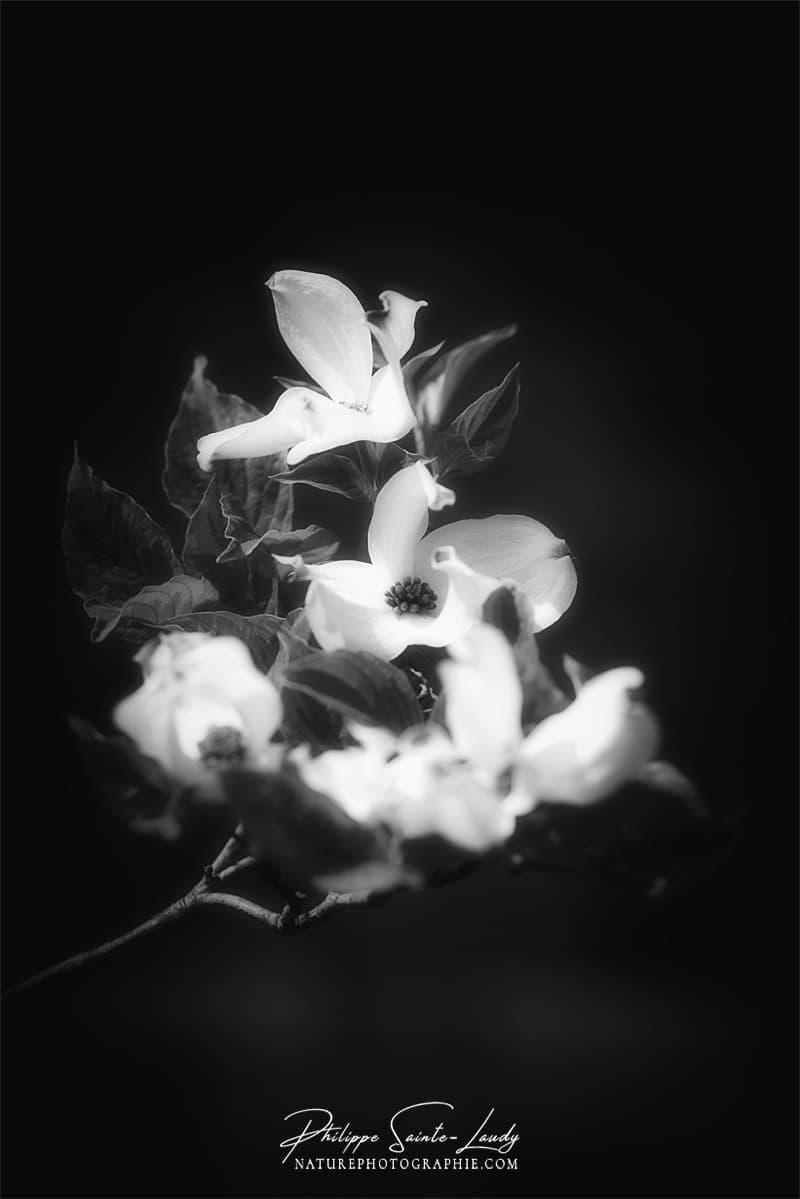 Dogwoods en noir et blanc