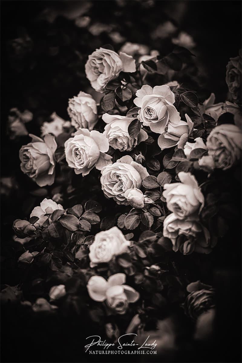 Mur de roses en N&B