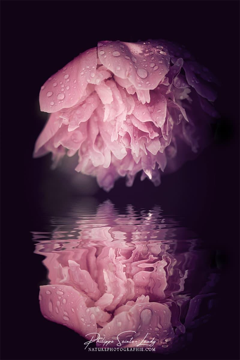Reflet d'une pivoine rose