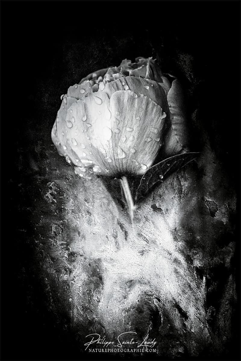 Pivoine en noir et blanc avec texture photo