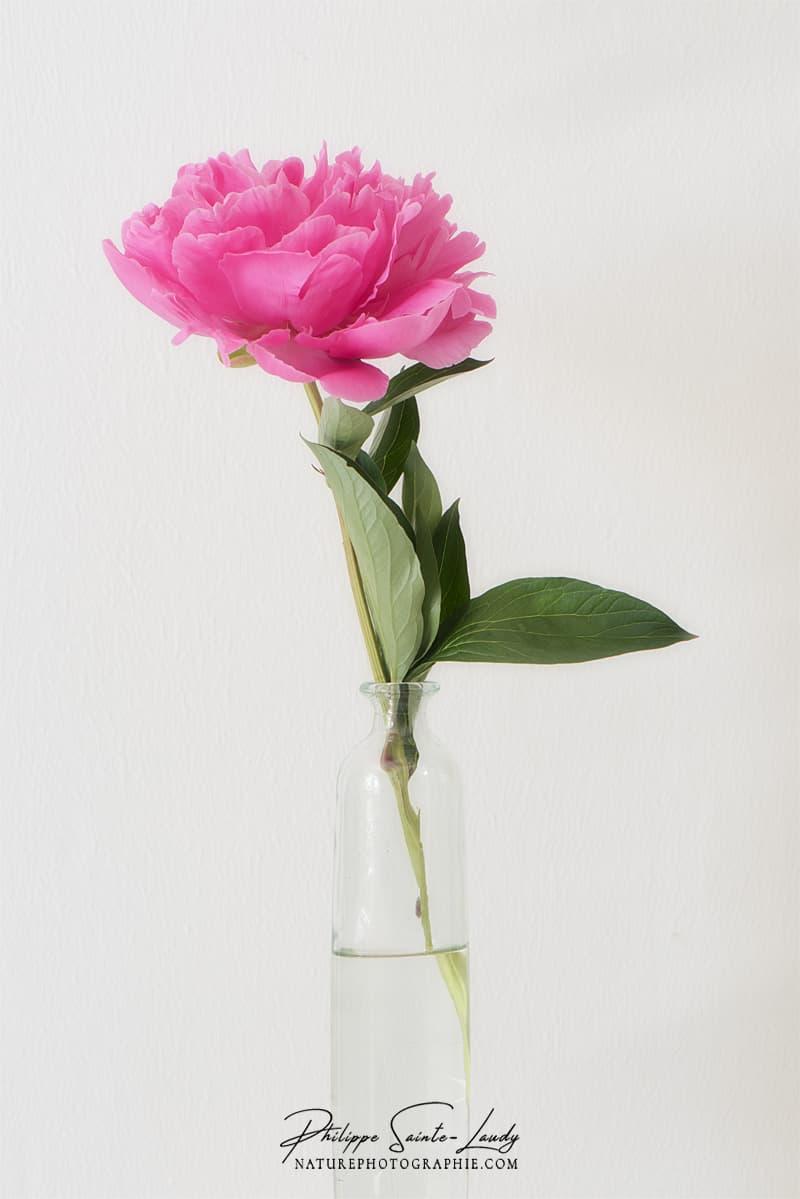 Une pivoine dans un vase