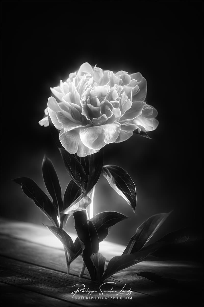 Photo de pivoine en noir et blanc