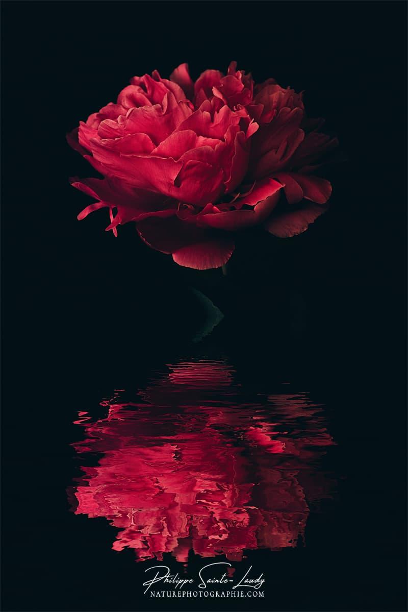 Pivoine rouge et son reflet
