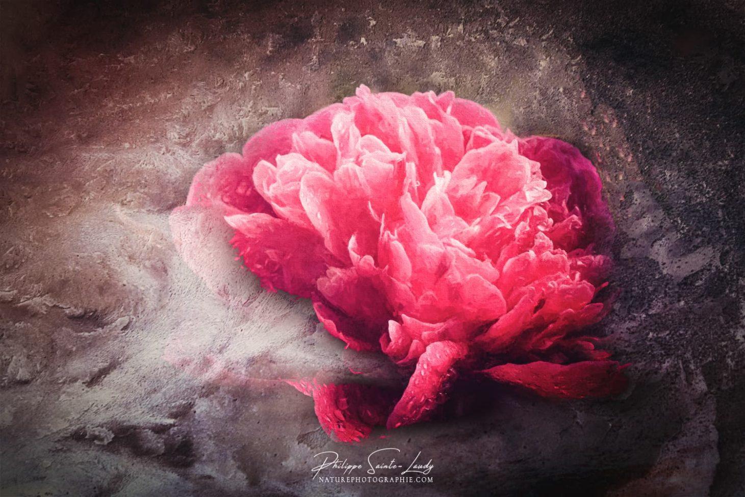 Texture photo sur une pivoine rouge