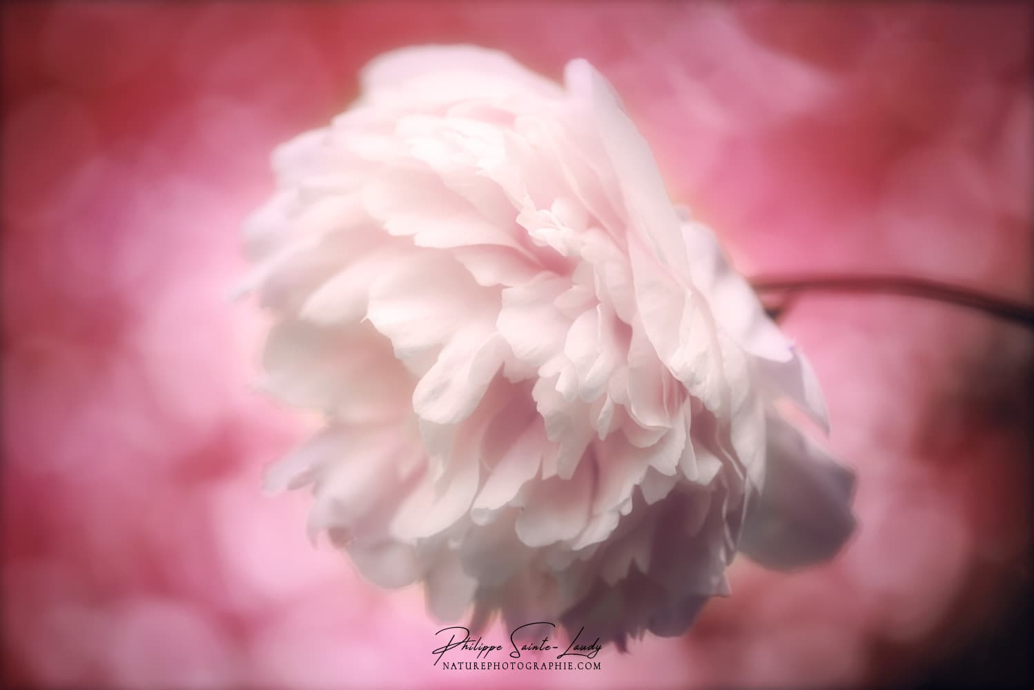 Photo de pivoine blanche
