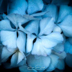 Boule d'hortensia bleu