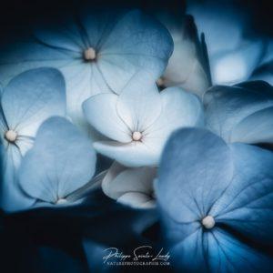 Hortensias Bleu Ciel